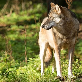 Wolf (Canis lupus) | Foto (captive): Steffen Bohl